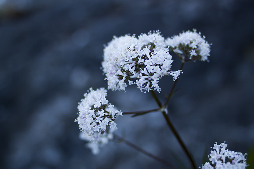 An image taken at dusk, showing white blossoms against a blurry background.