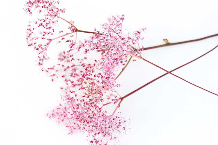 Pale pink flowers on a white background. The flowers are of the many-but-tiny kind, shaped like small trees.